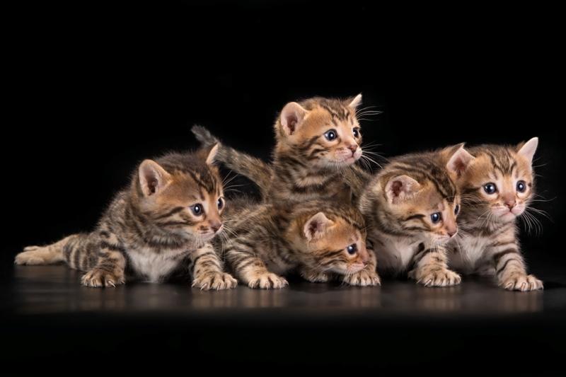 бенгальские коты фото и цена